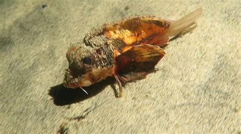 cientistas estao intrigados  nova especie de peixe