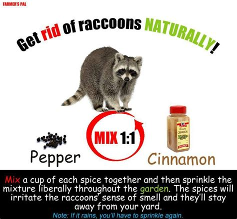 get rid of raccoons in backyard raccoon repellant gardening and pests pinterest
