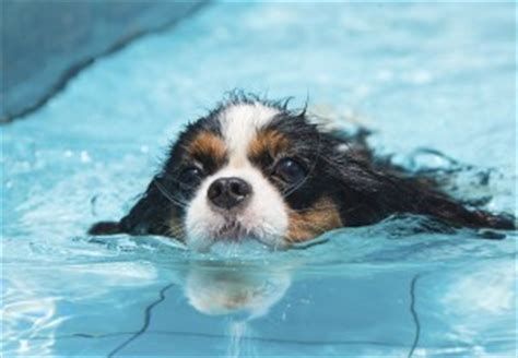 water in dogs ears chronic ear infections in water loving dogs pet meds news