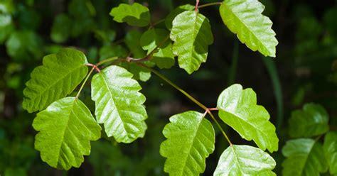 images of poison oak poison oak aspca