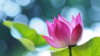 Images Lotus Lotus Wallpapers Best Wallpapers