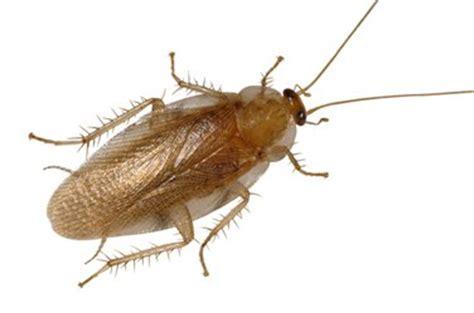 do cockroaches eat bed bugs pest information ausmic pest control