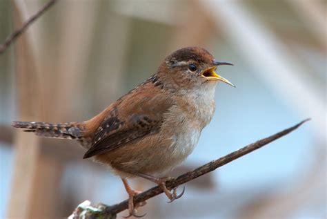 nw bird blog marsh wren
