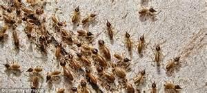 savage termites   latest species  plague florida