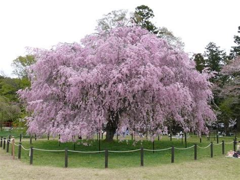 weeping higan cherry tree my favorite flowering tree i