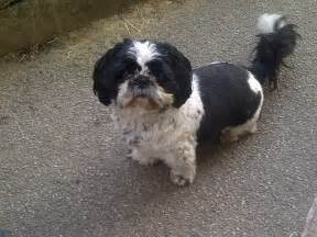 pin male shih tzu haircuts on pinterest
