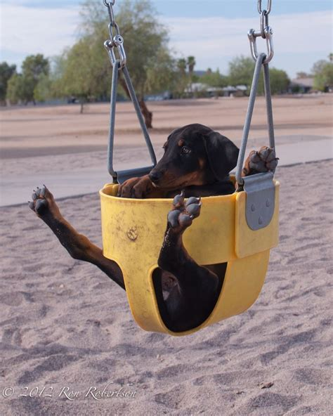Swing Pets Gachapin X Mukku 1000 images about dobermans on