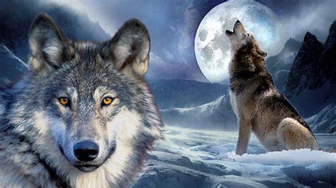 im 225 genes de un lobo gris im 225 genes y fotos cuentos infantiles y lobos im 225 genes y fotos