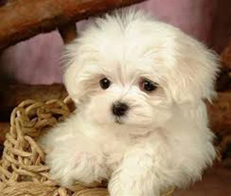 shih tzu puppies for sale in miami puppies for sale