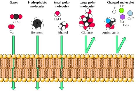 biochemistry   lipid soluble substances diffuse