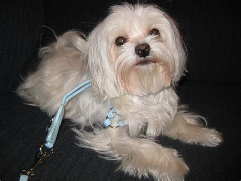 yorki maltese mix white yorkie maltese mix www pixshark images galleries with a bite