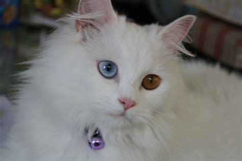 white cat with odd eyes my odd eyed kittycat star my sweetpainteddreams
