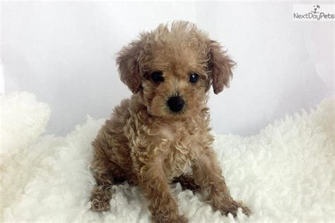 maltipoo puppies oregon tiny teacup maltipoo puppies available now in la c tiny teacup breeds picture