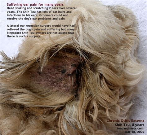 shih tzu ears shih tzu yeast infection ears guide