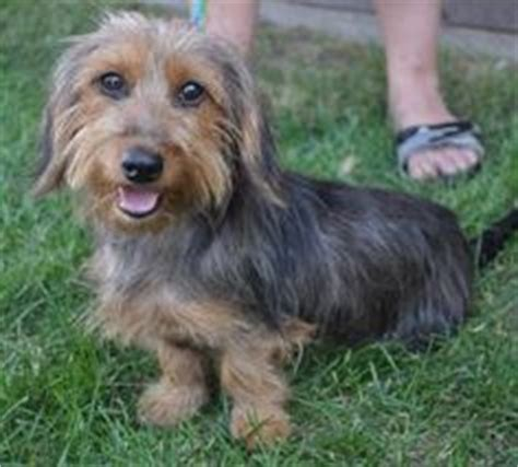 Do Dorkies Shed by Piper The Yorkie Mini Dachshund Breeds Picture