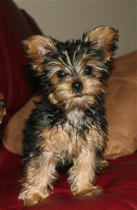 black yorkie yorkie puppy in and black jpg