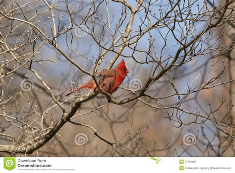 beautiful northern cardinal sitting in bare dogwood tree northern cardinal in dogwood tree royalty free stock photography image 27761897