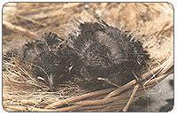 Penetasan Telur Kenari burung mania cara perkawinan penetasan kenari