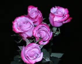 Vase Wedding Favors Quot Deep Purple Quot Rose 20 Quot Long 100 Stems