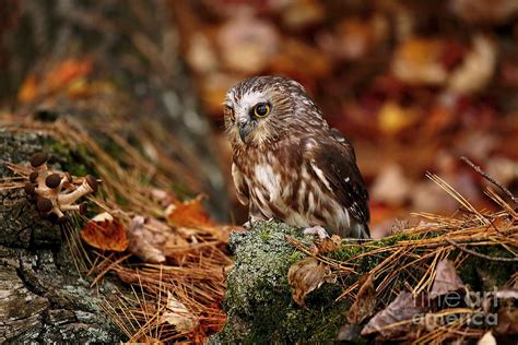 Owl Fall Leaf Iphone All Hp saw whet owl nesting on autumn leaves photograph by inspired nature photography
