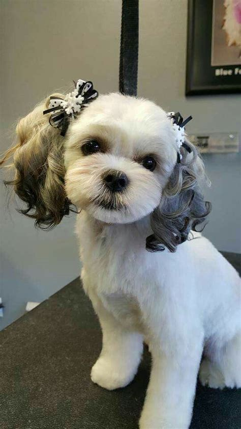 maltese shih tzu grooming styles i would to be able to groom miss joee just like this animales asombrosos