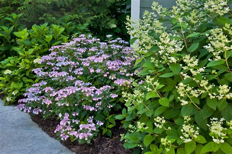 top ten shrubs for containers and small gardens proven winners