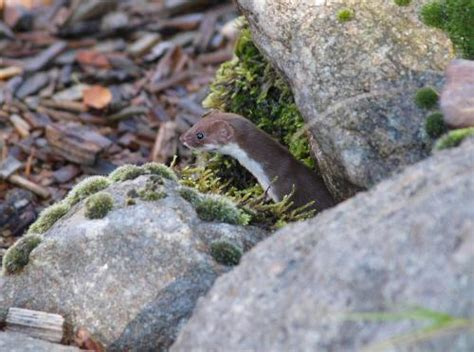 Mauswiesel Im Garten