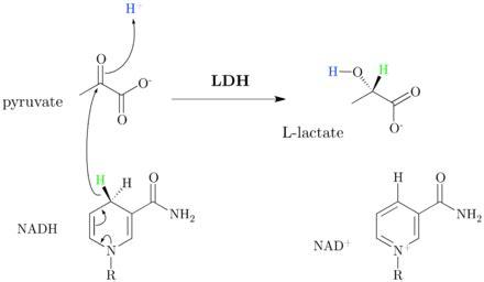 lactate dehydrogenase wikipedia