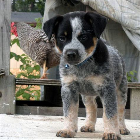 and blue heeler puppies heeler mix puppies www pixshark images