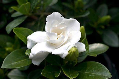 gardenia flower delivery buy gardenia gardenia jasminoides crown jewel pbr 163 11