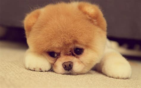 Boo For pomeranian puppy on the floor wallpaper 17134