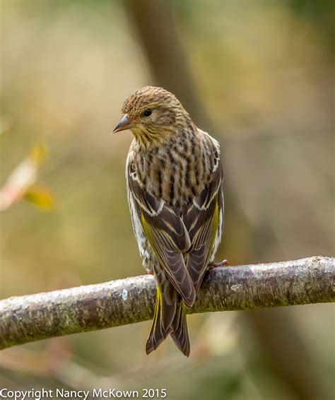 photographing pine siskins and thoughts about blinds