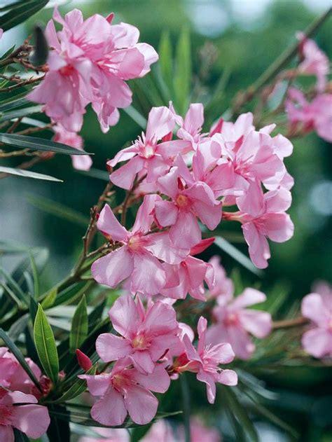 summer flowering shrubs sun the 13 best summer blooming shrubs gardens lilacs and sun