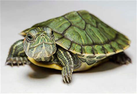 tutorial gambar kura kura profil lengkap kura kura brazil yang exotis okdogi com