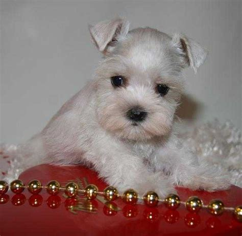 teacup schnauzer puppies for sale 302 found