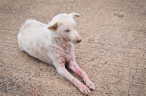 can dogs get scabies how do you get scabies causes symptoms treatment pictures
