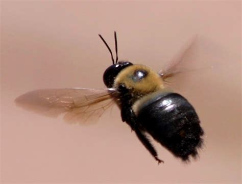 the nature geek the flight of the carpenter bee