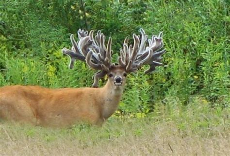 Bucks With by Big Farm Raised Bucks These Bucks Are