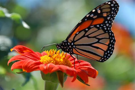 monarch butterfly gathering nectar images redorbit