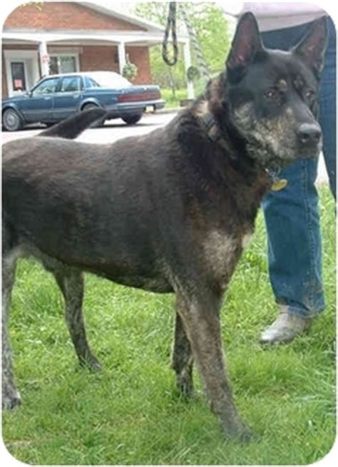 akita mix with rottweiler merlin adopted 4175 honesdale pa akita