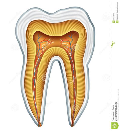 Anatomy For Dental Medicine tooth anatomy royalty free stock photo image