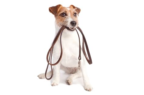 how to a puppy to walk on a leash walking noah s ark pets