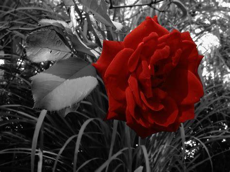 rose dessin noir  blanc les  belles  par