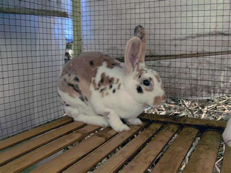 Harga Pelet Kelinci Anggora kelinci bulu karpet rex kelinci perkelincian rabbit rabbitry