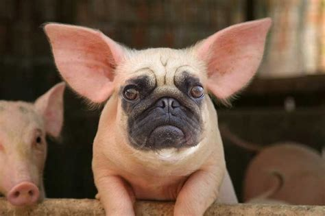 pig pug it s a pug it s a pig no it s a pug pig created just like the hippo bird