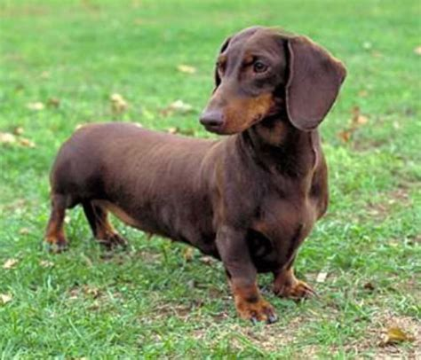 7 Facts On Dachshunds by 10 Interesting Dachshund Facts My Interesting Facts