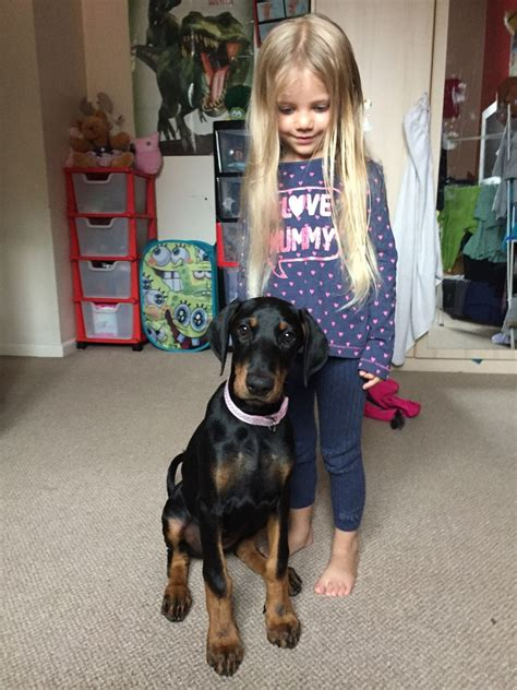 15 week puppy beautiful doberman puppy 15 weeks for sale kettering northtonshire pets4homes