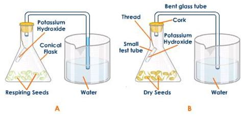design an experiment to determine if plants respire aerobic respiration anaerobic respiration lab