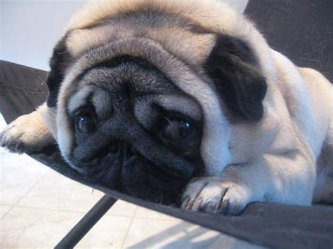 pug pedigree pedigree inbreeding breeds that been devastated