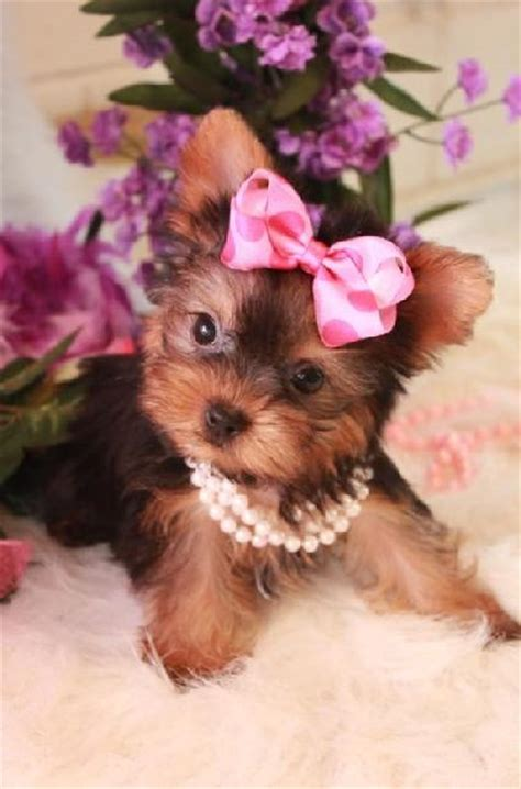 yorkies with bows yorkie with bow foto 2017